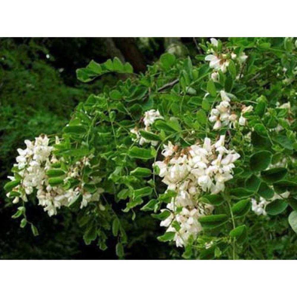 Акация (Robinia pseudoacacia L.) - цвят