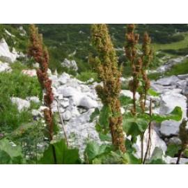 алпийски лапад - корен