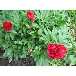 Божур (Paeonia) - цвят 20гр