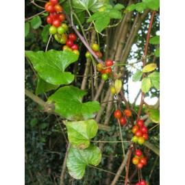 Брей (Tamus communis) - корен 50гр.