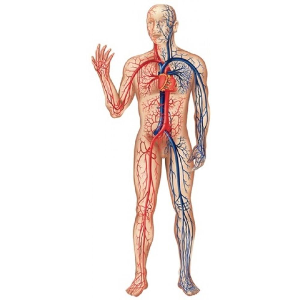 тинктура за кръвоносната система 100мл.