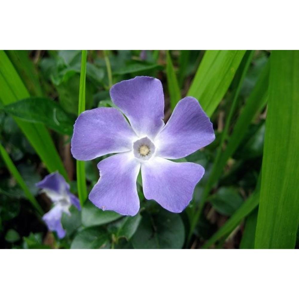 Зимзелен (Vinca minor) - листа 30гр